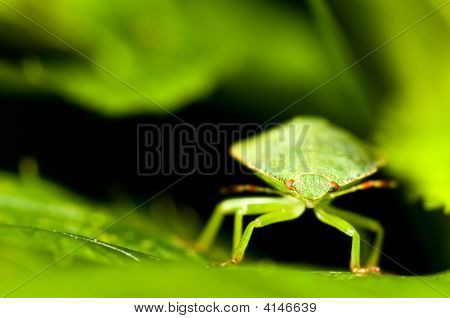 Green Shield Bug. Palomena Prasina