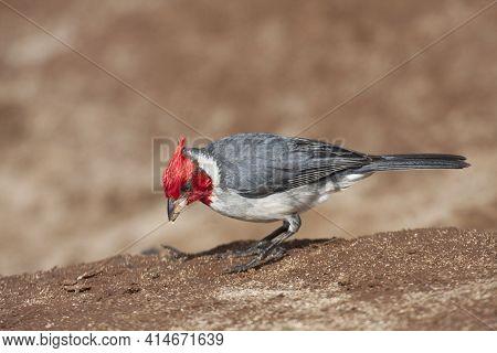 A Red-crested Cardinal, Paroaria Coronata, Close Up View