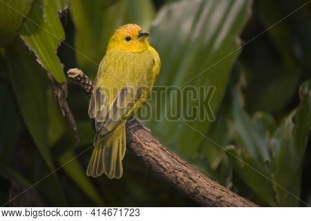 A Saffron Finch, Sicalis Flaveola, Perched On A Small Branch