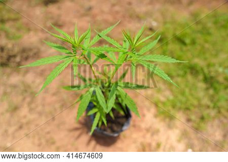 The Marijuana Planted In A Potted Plant. Marijuana Can Be Taken As A Medicine For Treatment. But If