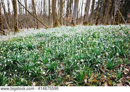 Beautiful Blooming Early Spring Snowflake Flowers Leucojum Vernum In A Spring Forest. Forest Floor C