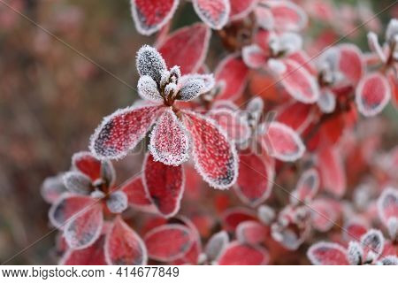 Frozen Azalea With Red Leaves. The First Frosts, Cold Weather, Frozen Water, Frost, And Hoarfrost. M