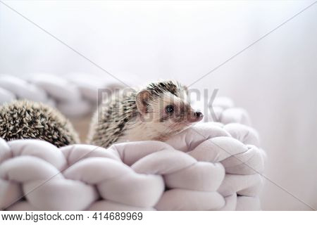 Hedgehog. African Pygmy Hedgehog In A Gray Wicker Soft Bed On A Blurred Light Background.pets. Gray