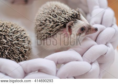 Hedgehog. African Pygmy Hedgehog In A Wicker Soft Bed On A Blurred Light Background.pets. Gray Littl