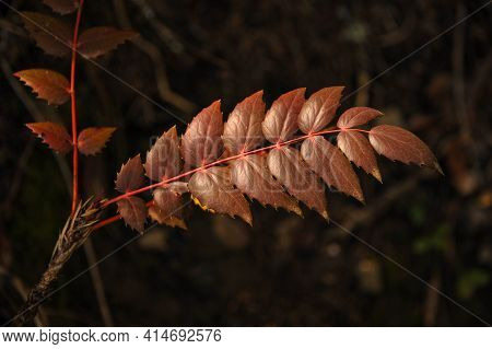 This Is A Photo Of An Oregon Dwarf Grape Plant Branch.