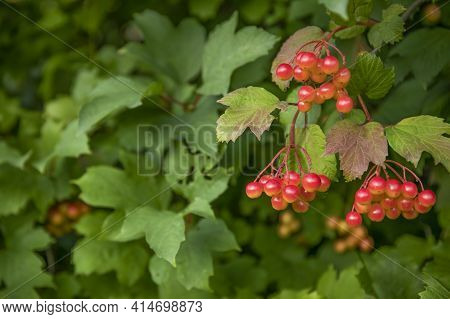 Red Berries And Green Leaves On A Bush In A Garden