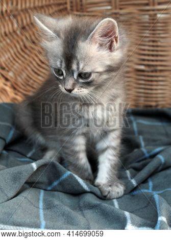 Touching Little Grey Kitten, British Cat Feline Young