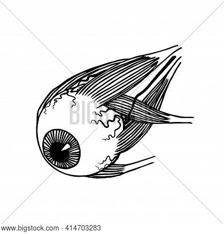 Human Eyeball With Muscles And Blood Vessels, Organ Of Vision, Medical Exhibit, Vector Illustration