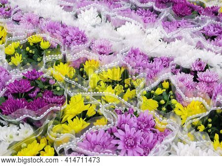 Many Multi-colored Bouquets Of Chrysanthemum Flowers In The Store On The Showcase. Sale Of Flowers