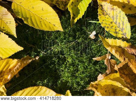 Lush Green Moss With Dry Leaves In The Forest. Autumn Background With Green Textured Moss And Yellow