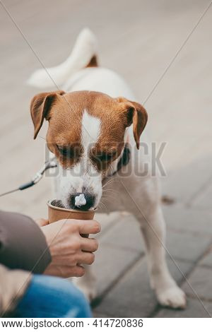 Cute Puppy Jack Russell Terrier Drinking A Milk Foam From The Paper Cup On The Street.