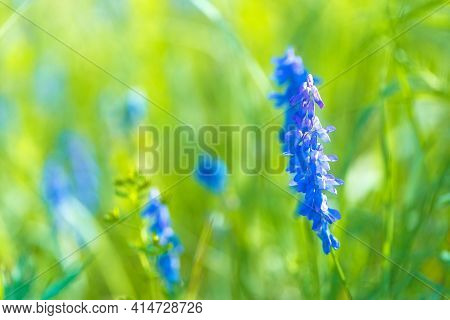 Close-up Of Blooming Wild Flowers Vicia Cracca, Smelly Wildflower In Grass. Field Full Of Fresh Flow