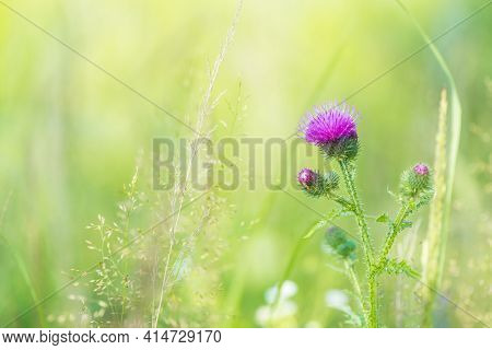 Arctium Lappa, Burdock. A Large Herbaceous Old World Plant Of The Daisy Family. The Hook-bearing Flo