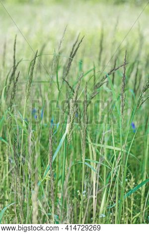 Close-up Of Field Grass And Wildflowers On Meadow. Beautiful Spring Landscape. Wildflower, Prairie A