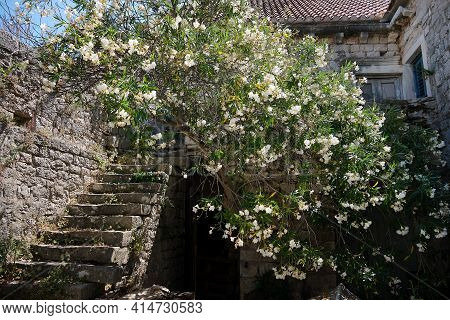 Old Abandoned Stone Fishermans Cottage, Ancient House. Stone Staircase, Big Oleander Tree With White