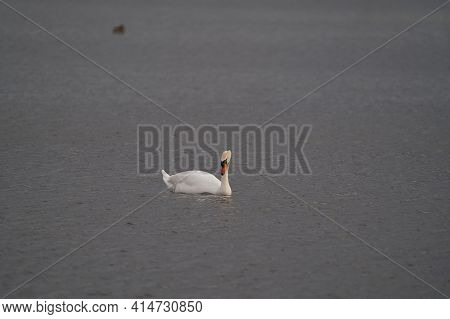 A Beautiful White Swan Swimming And Looking For Food Under Water In The Lake