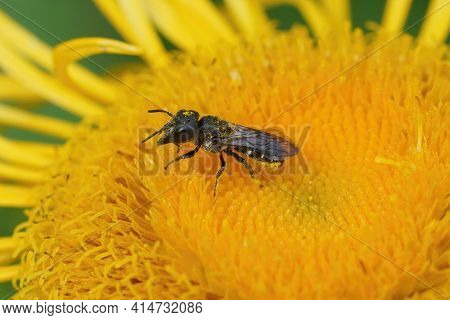 Closeup Of A Large-headed Resin Bee, Heriades Truncorum On A Yellow  Flower
