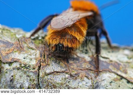 Closeup Of A Colorful Female Tawny Mining , Andrena Fulva Infected With A Parasite Stylops Nevinsoni