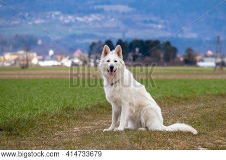 White Swiss Shepherd Dog On A Field Outside. Adult Berger Blanc Breed.