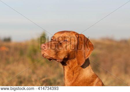 Vizsla Dog Closeup In An Autumn Field