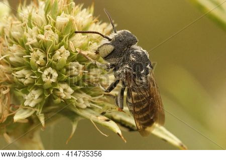 Closeup Of A Male Sharp-tailed Or Sharp-bellied Cuckoo Bee , Coelioxys Argenteus On The Green Flower