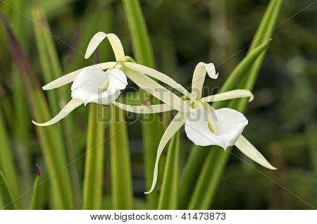 Brassavola tuberculata orchids