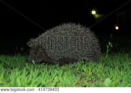 A Wild Common Hedgehog Creeps Along The Green Grass At Night In Search Of Food. The Hedgehog Was Cau