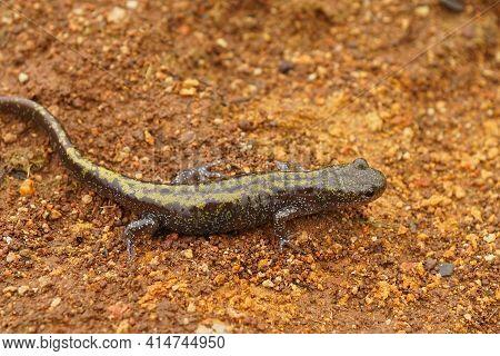 Closeup On A Juvenile Of The  Western Longtoed Salamander, Ambystoma Macrodactylum Macrodactylum In