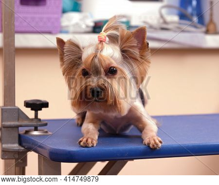 A Yorkshire Terrier Lies On A Grooming Table After Grooming At An Animal Salon.