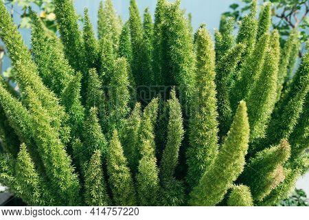 Asparagus Densiflorus, Asparagus Fern, Plume Asparagus Or Foxtail Fern Green Stems Close-up, Horizon