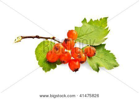 Hawthorn orange with leaves