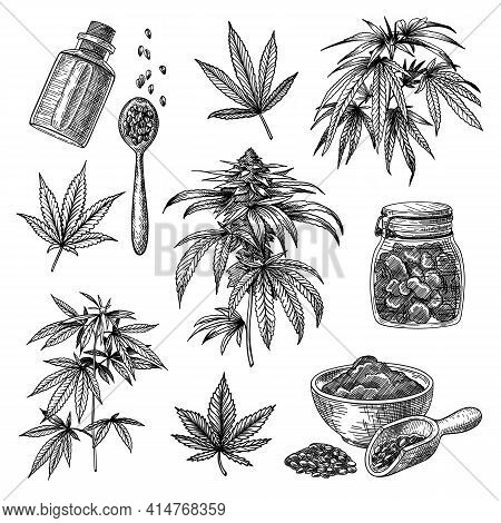 Cannabis Or Hemp Engraved Illustrations Set. Hand Drawn Sketch Of Marijuana Plant Isolated On White
