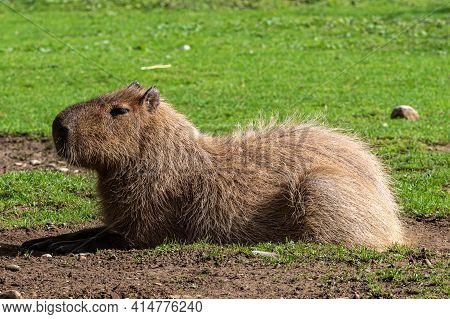 The Capybara, Hydrochoerus Hydrochaeris Is A Mammal Native To South America. It Is The Largest Livin