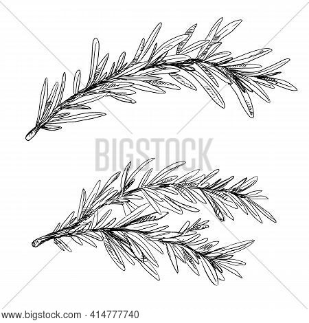 Two Branches Of Thyme, Vintage Hand-drawn Illustration