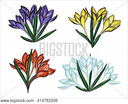 A Set Of Spring Flowers. Crocuses Are Purple, Yellow, White And Red.