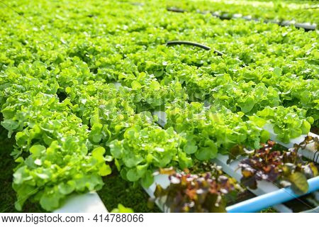 Greenhouse Vegetable On Water Pipe With Green Oak, Hydroponic Lettuce Growing In Garden Hydroponic F