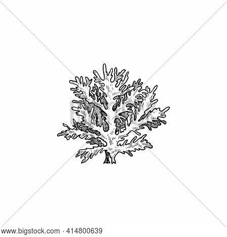 Hand Drawn Sketch Style Seaweed. Deep Underwater Or Reef Seaweed. Retro Vintage Illustration Of Ocea