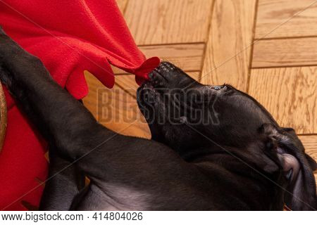 A Young American Pit Bull Terrier Puppy Pulls And Nibbles On A Red Fleece Blanket While Lying On The