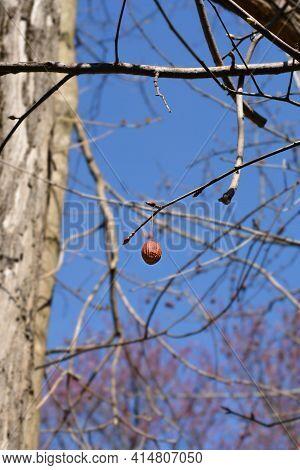 Handkerchief Tree Branch With Seed And Buds - Latin Name - Davidia Involucrata Var. Vilmoriniana