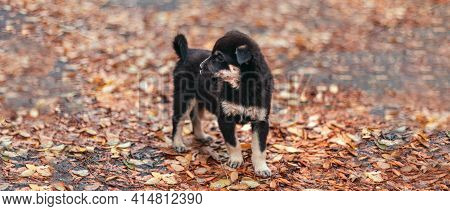 Happy Puppy Dog Walks In The Autumn Park. Wet Leaves After Rain In The Forest