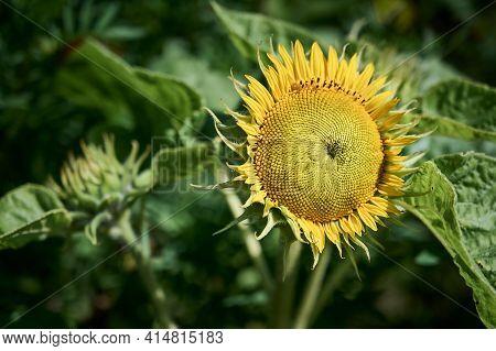 Decorative Garden Sunflower. Close Up Of Beautiful Sunflower Flower. Sunflower Natural Background, S