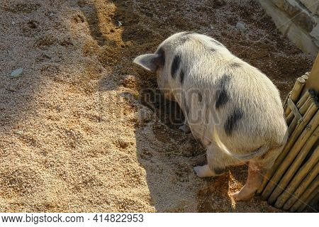 Cute Pig With Black Spots And Furry Back Eating In Sand. Pig's Back. Agriculture Business