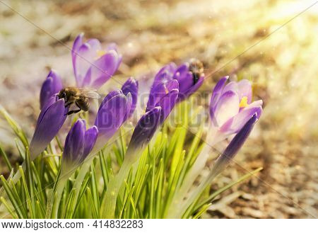 Purple Crocus Flowers Awakening In Spring To The Warm Gold Rays Of Sunlight. A Bee Collects Nectar F