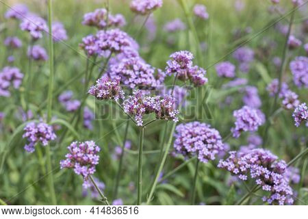 Beautiful Purple Flower Of Verbena Bonariensis Bloom In The Garden On Blur Nature Background.