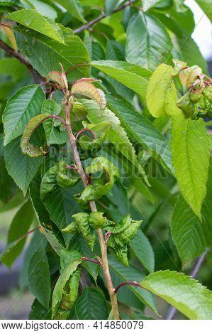 Aphid Fruit Tree Disease Fungus, Branch Of Diseased Cherry Tree Vertical Photography