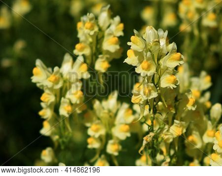 Flaxseed Or Wild Snapdragon (linaria Vulgaris) Is A Medicinal Herb. Wildflowers Inflorescence.