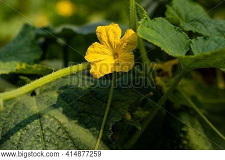 Cucumber Flowers Behind The Bright Yellow Female Flower Is A Miniature Cucumber. At First Cucumber V