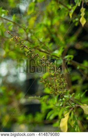 Ocimum Tenuiflorum Or Holy Basil Also Called Tulasi Or Tulsi, Flowering And Seed Plant Of The Mint F