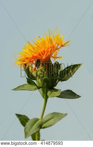 Production Of Safflower Plants And Seed Varieties From Large Farm Gardens. Dyer's Saffron, American