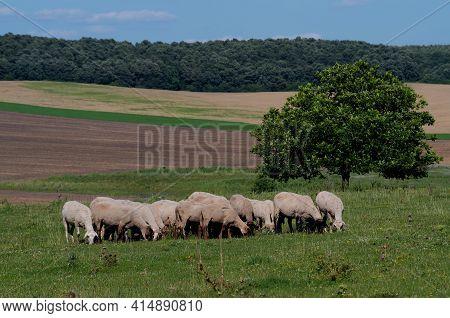 Breeding Animals For Wool. Sheep Breeding In Bulgaria